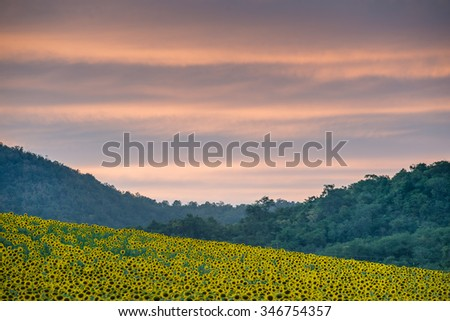 Sunflower field against mountains and cloudy sunset sky in Nakhon Ratchasima province, Thailand.