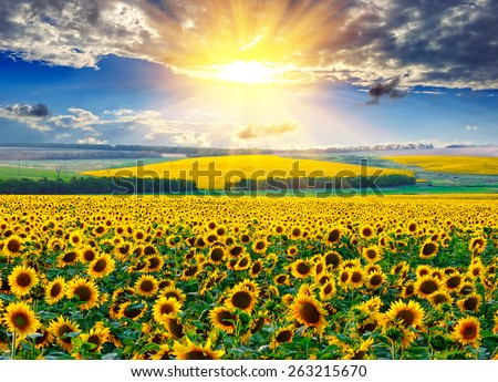 Sunflower field against the dramatic sky and a rising sun - stock photo