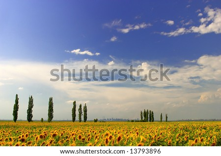 Sunflower field and the blue sky