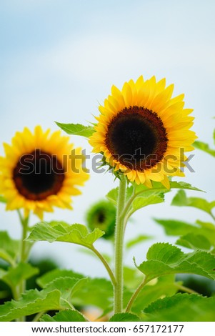 Sunflower field at Guanyin District, Taoyuan, Taiwan during the summer season.