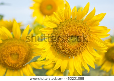 Sunflower Field at Khao Jeen Lae