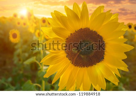 Sunflower field at sunset - stock photo