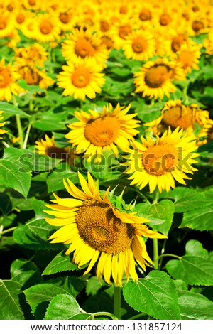 Sunflower field background - stock photo