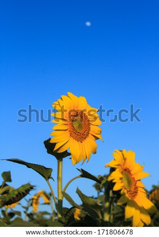 Sunflower field background under blue sky. - stock photo