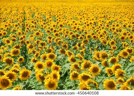 sunflower field closeup summer landscape, row arranged - stock photo