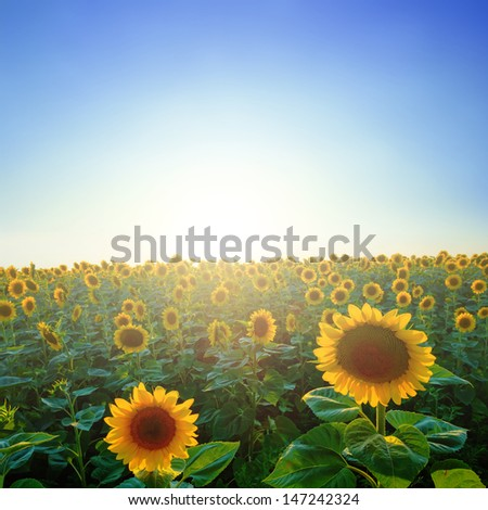 sunflower field in a sunshine - stock photo
