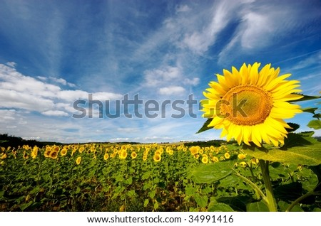 Sunflower field in central France on a sunny day