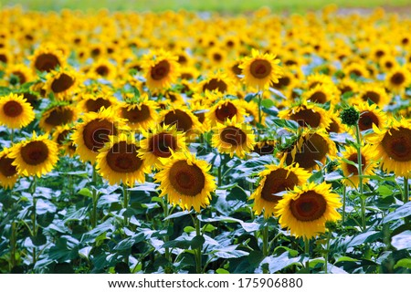 Sunflower field in summer - stock photo