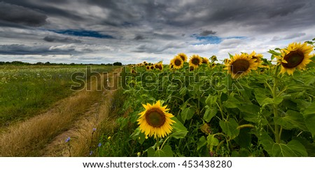 Sunflower field in summer, profiled on storm clouds