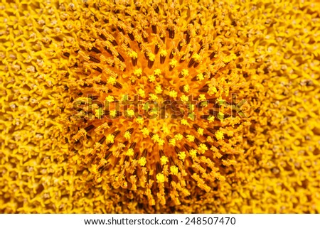 Sunflower field in Thailand