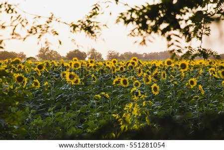 Sunflower field is blooming at sunset