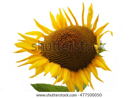 sunflower field isolated on white