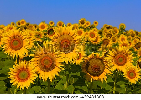 Sunflower field on a sunny day. Background of sunflower. - stock photo