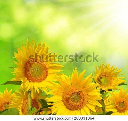 Sunflower field on green natural background - stock photo