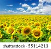 sunflower field over cloudy blue sky - stock photo