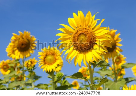 Sunflower field. Sunflower field in full bloom. Cloudy sky clear - stock photo