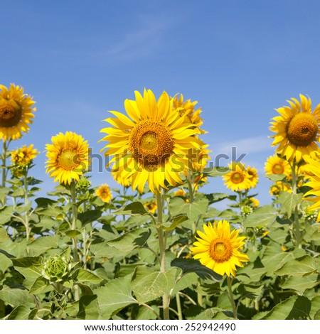 Sunflower field. Sunflower field in full bloom. Cloudy sky clear - stock photo