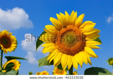 Sunflower field. Sunflower with blue sky and clouds. Summer background, bright yellow sunflower over blue sky. Landscape with sunflower field over cloudy blue sky and bright sun lights. Bee on flower