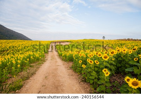 Sunflower field, Thailand. - stock photo