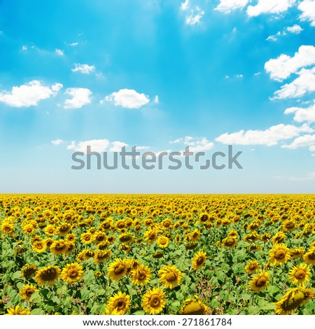 sunflower field under blue sky with clouds - stock photo