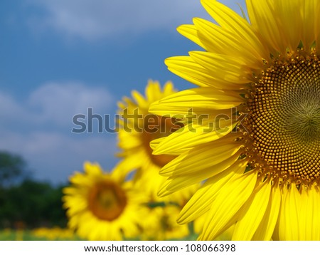 Sunflower field with blue sky in countryside of thailand - stock photo