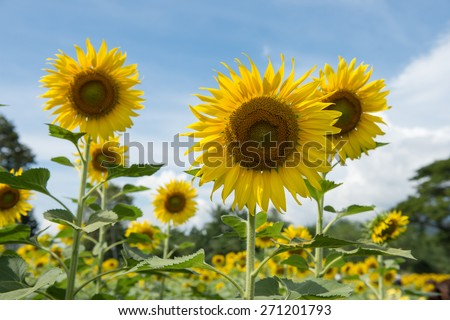 sunflower field with cloudy blue sky and bright sun lights