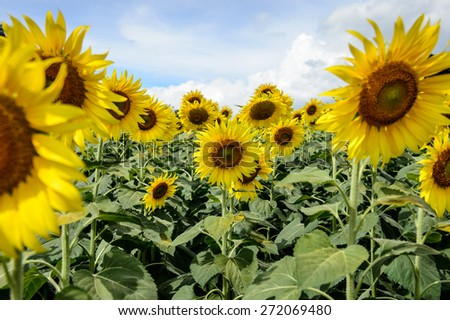 sunflower field with cloudy blue sky and bright sun lights - stock photo