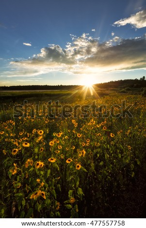 Sunflower Field with Setting Sun