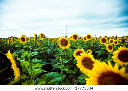 Vintage Sunflower Field