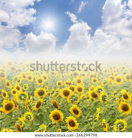 Sunflower fields and blue Sky with sun