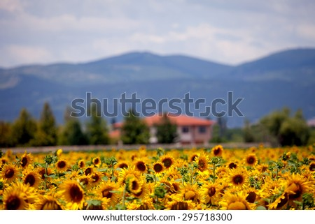 sunflower fields and blurred house in the background