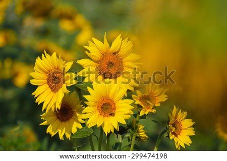 Sunflower fields, flowers and bees - stock photo