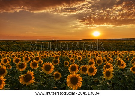 Sunflower fields in warm evening light - stock photo