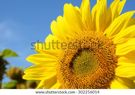 Sunflower flower close up against the blue sky (natural background) - stock photo