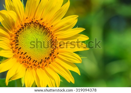 Sunflower,flower , macro flower - stock photo