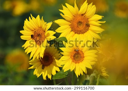 Sunflower flowers, bees pollinate as the morning sun - stock photo