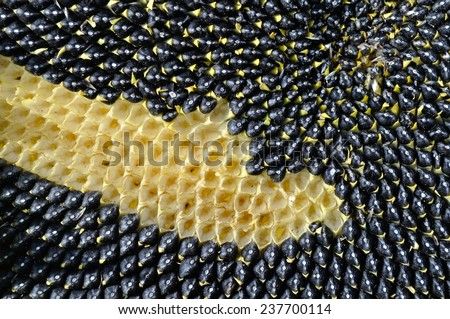Sunflower Head detail - stock photo