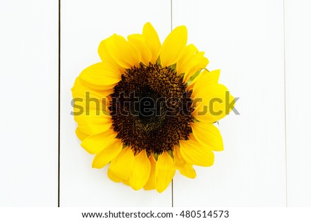 Sunflower head on pure white wood texture background