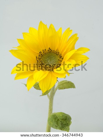 Sunflower; Helianthus, annuus
