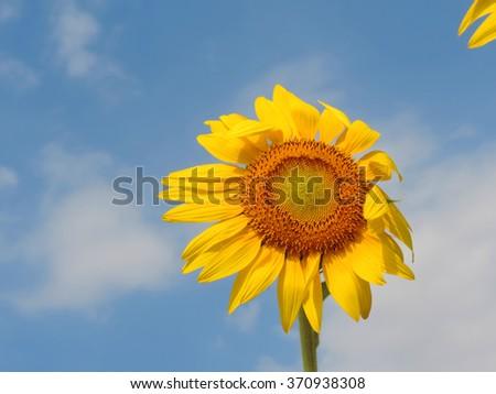 Sunflower hot sunny day,outdoor.         - stock photo