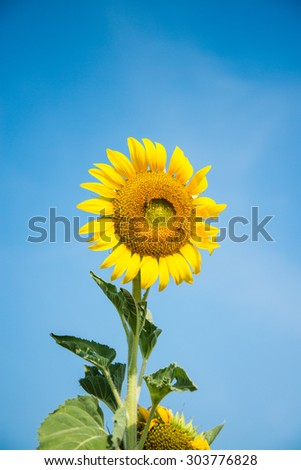 sunflower in a field in summer - stock photo