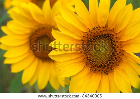 Sunflower in a field of sunflowers - stock photo