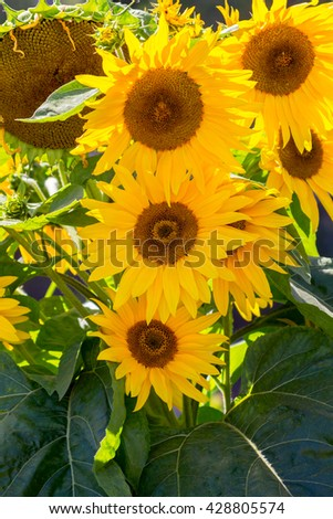 Sunflower in a garden