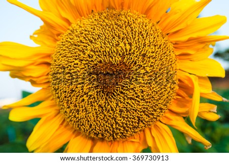 Sunflower in  beautiful landscape