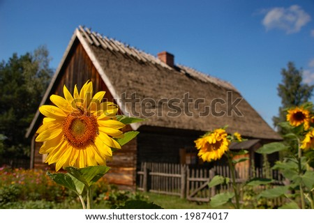 Sunflower in front of old cottage house