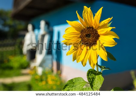 Sunflower in front of old wooden house