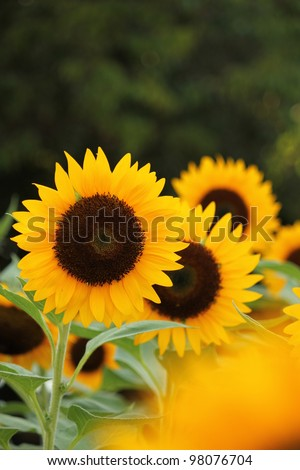 Sunflower in garden - stock photo