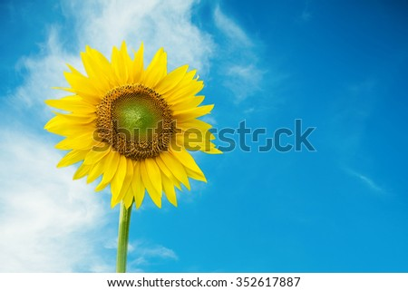 Sunflower in sky background.