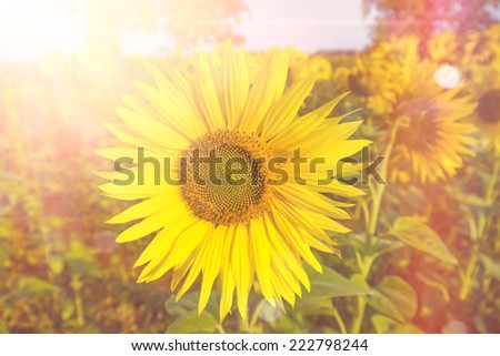 sunflower in sunlight in summer - stock photo