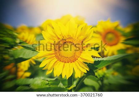 Sunflower in Sunny Day Over Blue Background - stock photo